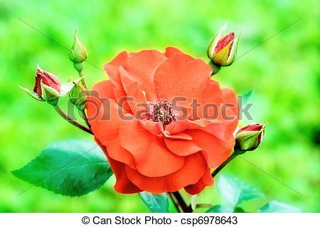 Stock Photos of Wild rose.