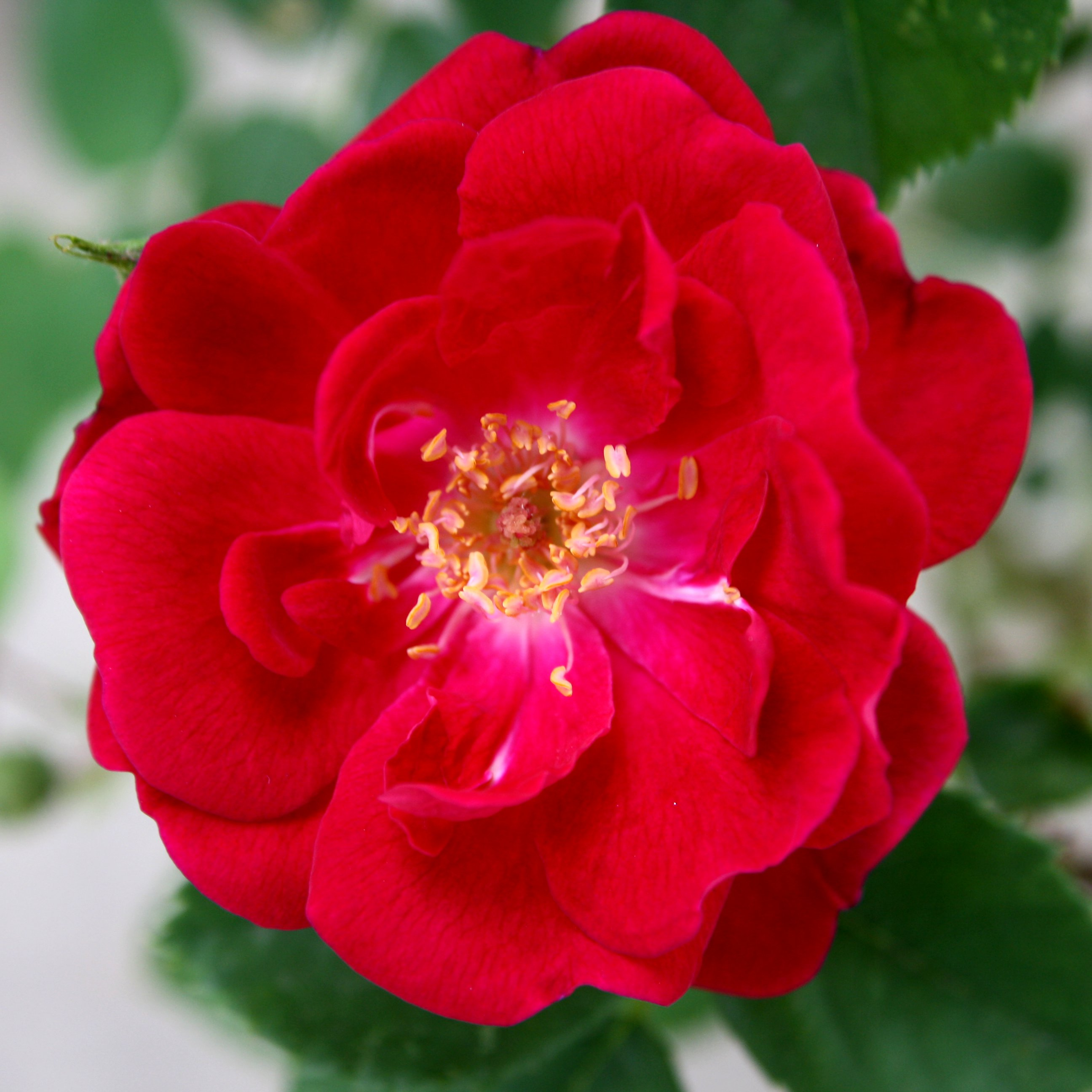 Wild Red Rose Picture.