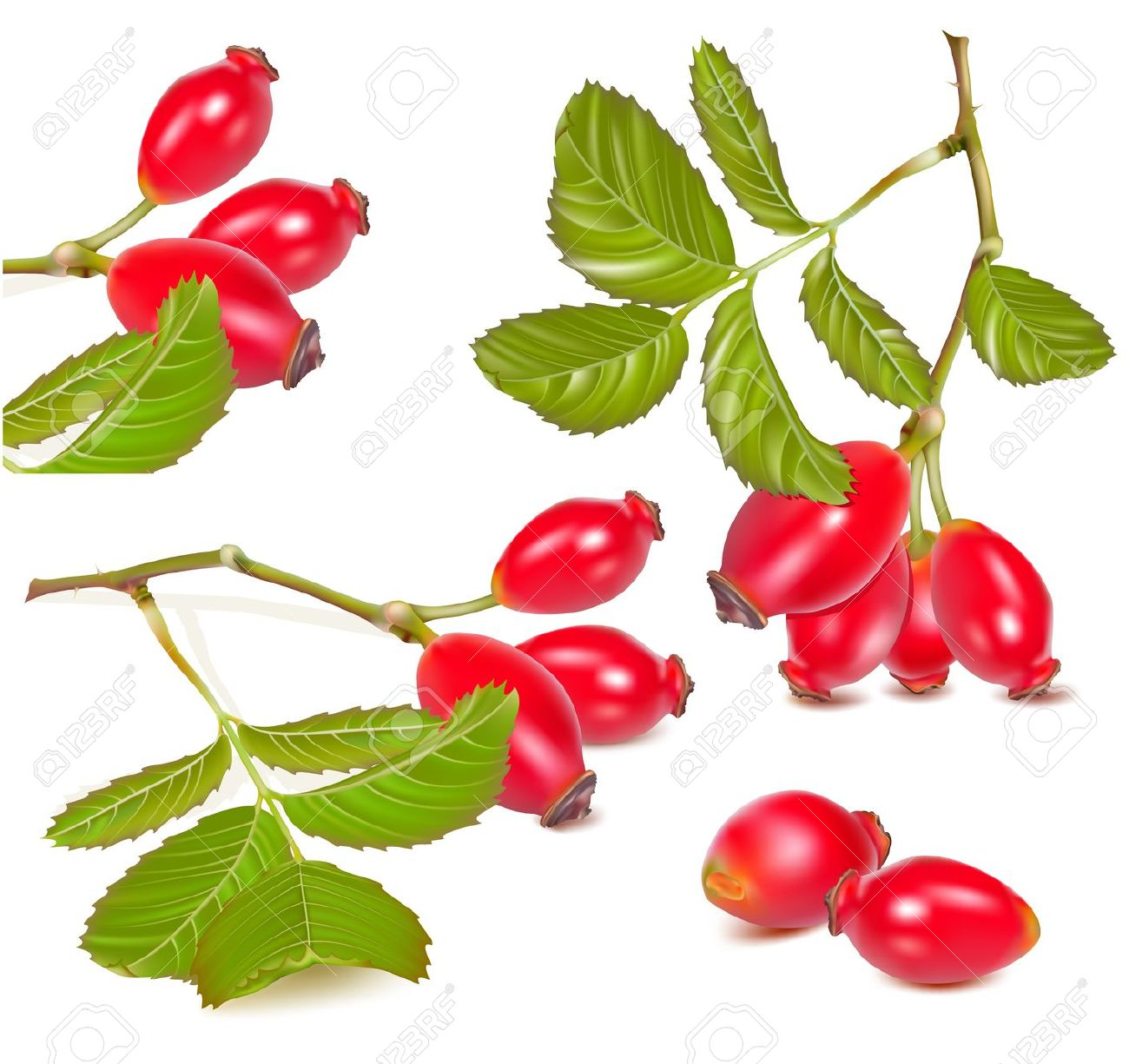 Vector Illustration. Red Rose Hip. Royalty Free Cliparts, Vectors.