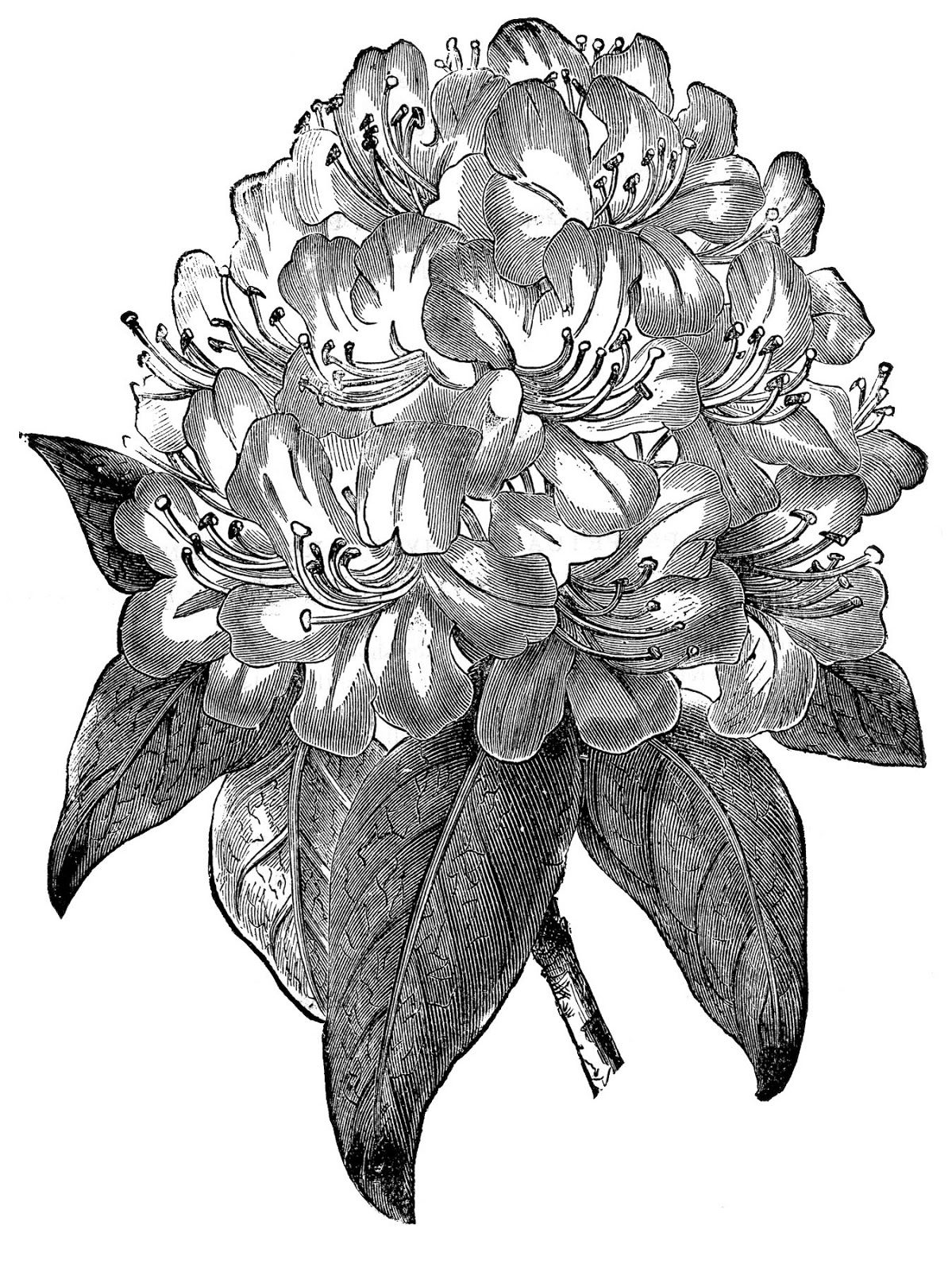 Vintage Botanical Image.