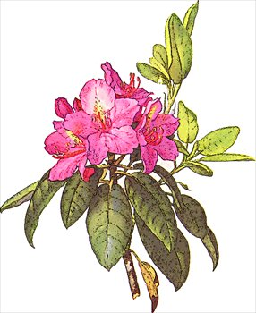 Rhododendron Flower Clipart Image.