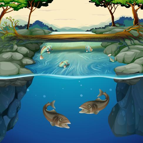 Fish swimming in the river.