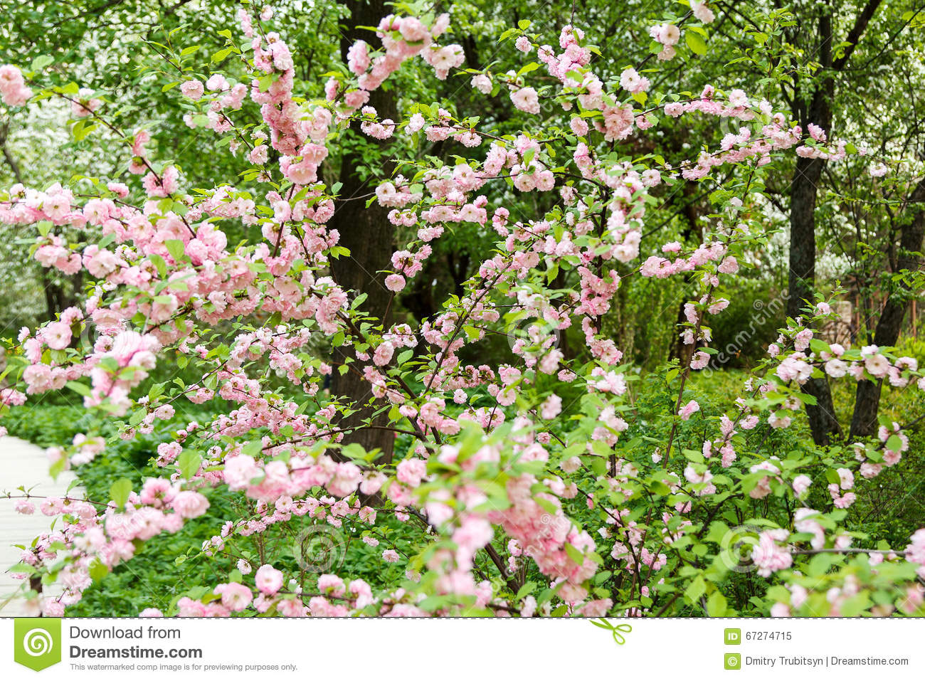 Wild Rose Bush With Pale Pink Flowers Stock Photo.