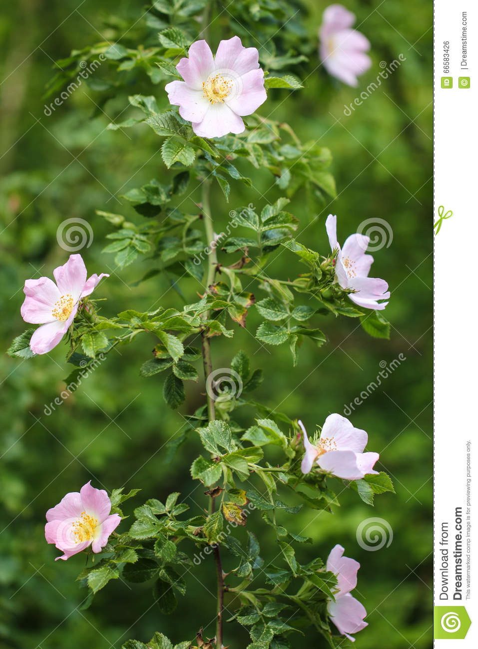 Pink Wild Rose In Full Bloom Dangling From The Bush In The Garden.