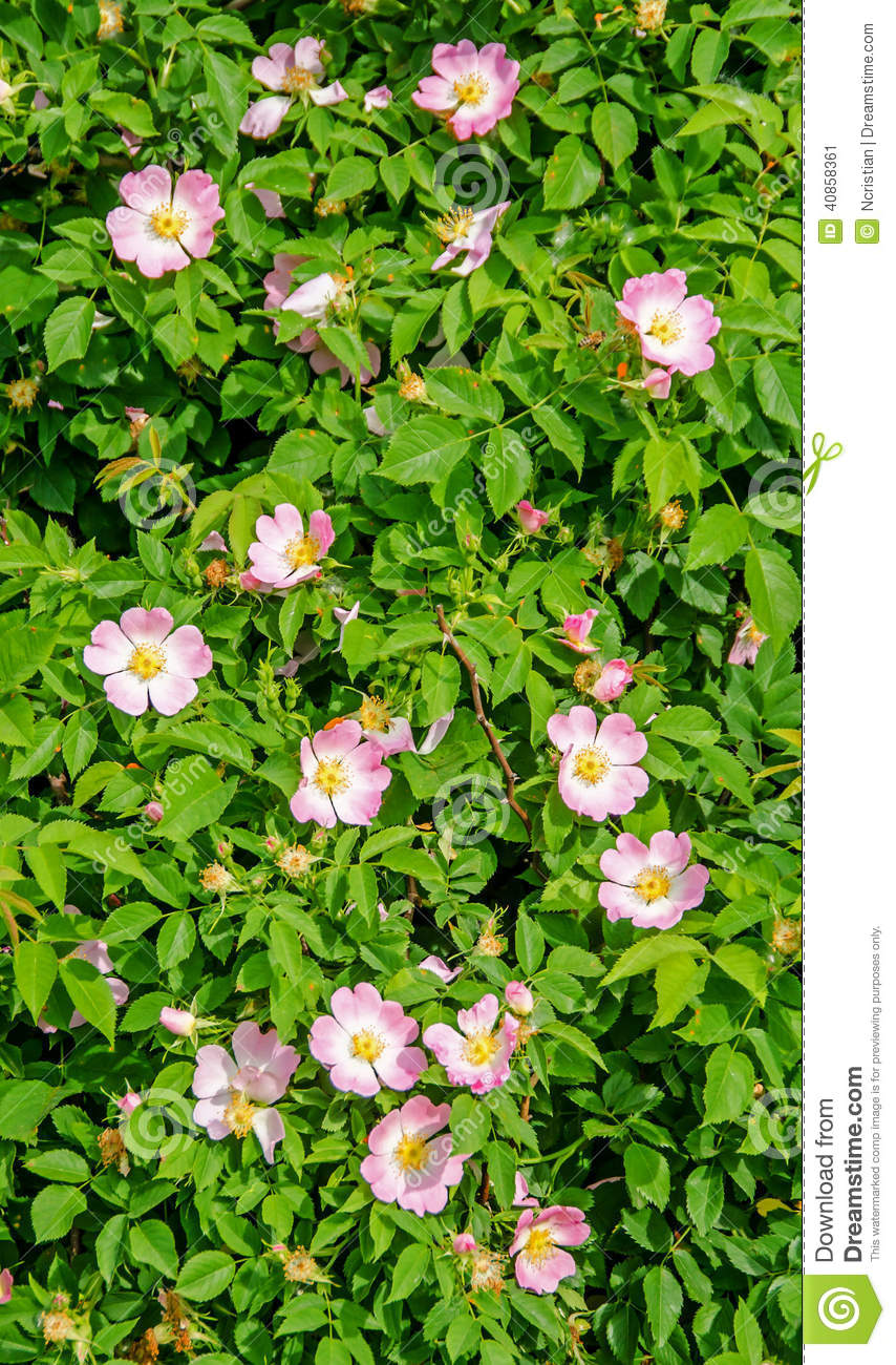 Bush Of Pink Wild Rose Flowers Stock Photo.
