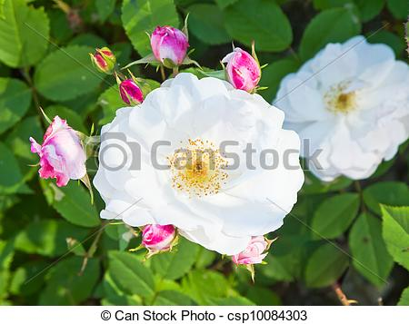 Stock Photography of White wild rose.