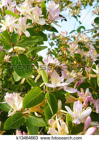 Stock Photo of Wild rose bush Almond k13464663.