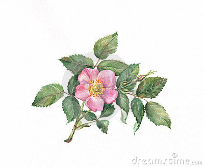Wild Rose Stock Photos, Images, & Pictures.