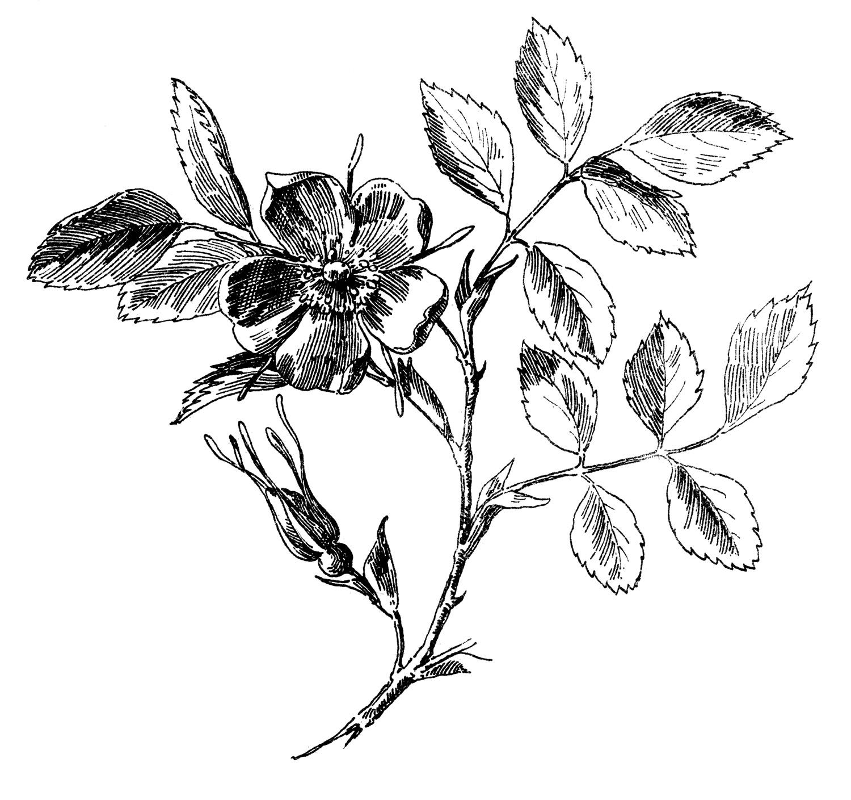 Antique Graphic Wild Rose Engraving The Graphics Fairy #Tw95LB.