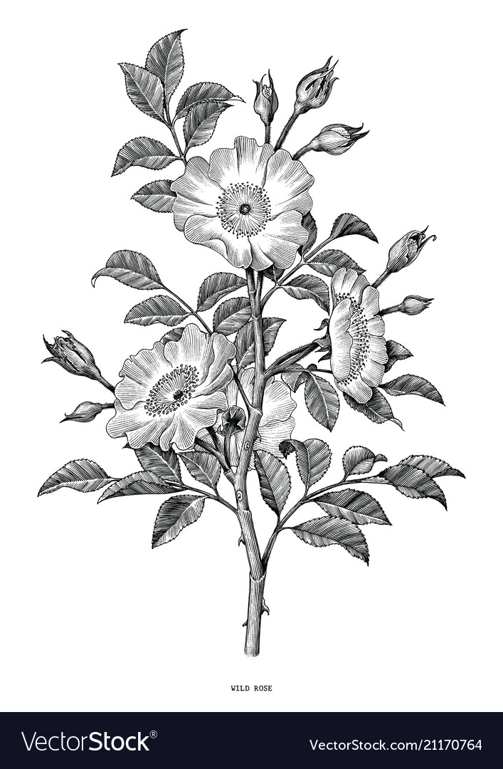 Wild rose hand drawing black and white vintage.