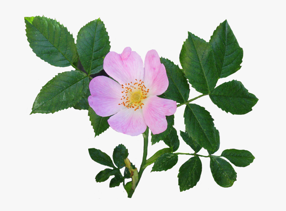 Wild Rose Flower And Leaves.