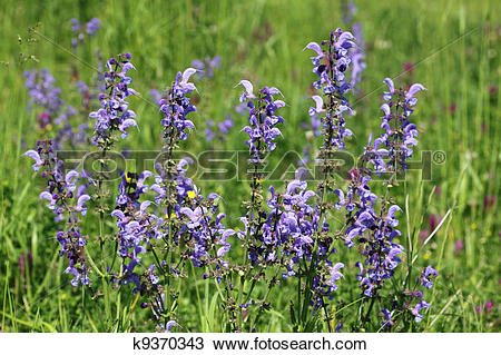 Stock Photo of Wild sage k9370343.