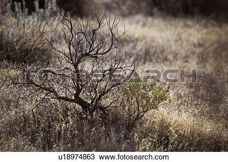 Stock Photo of Closeup of wild sage bush in cryptobiotic soil.