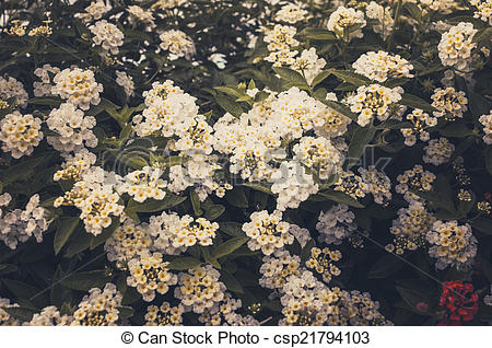 Stock Photography of Lantana or Wild sage or Cloth of gold vintage.