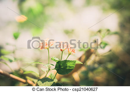 Stock Photo of Lantana or Wild sage or Cloth of gold vintage.