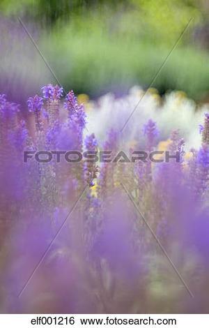 Stock Images of Germany, Wild sage, Salvia nemorosa elf001216.