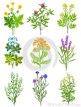 Wild Sage Stock Illustrations.