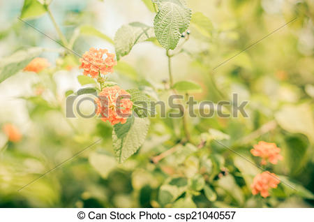 Stock Images of Lantana or Wild sage or Cloth of gold vintage.