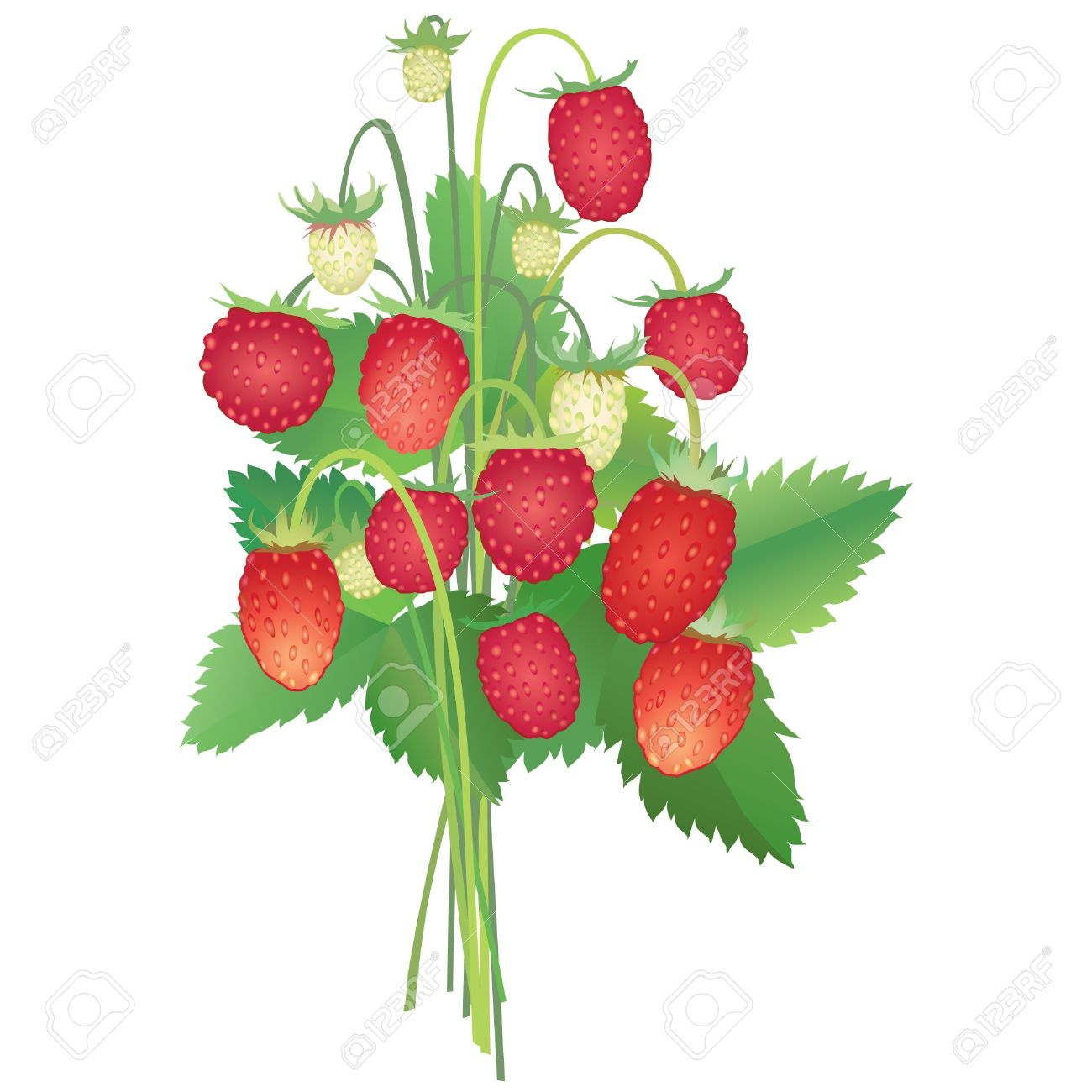 Bouquet With Wild Strawberry Royalty Free Cliparts, Vectors, And.