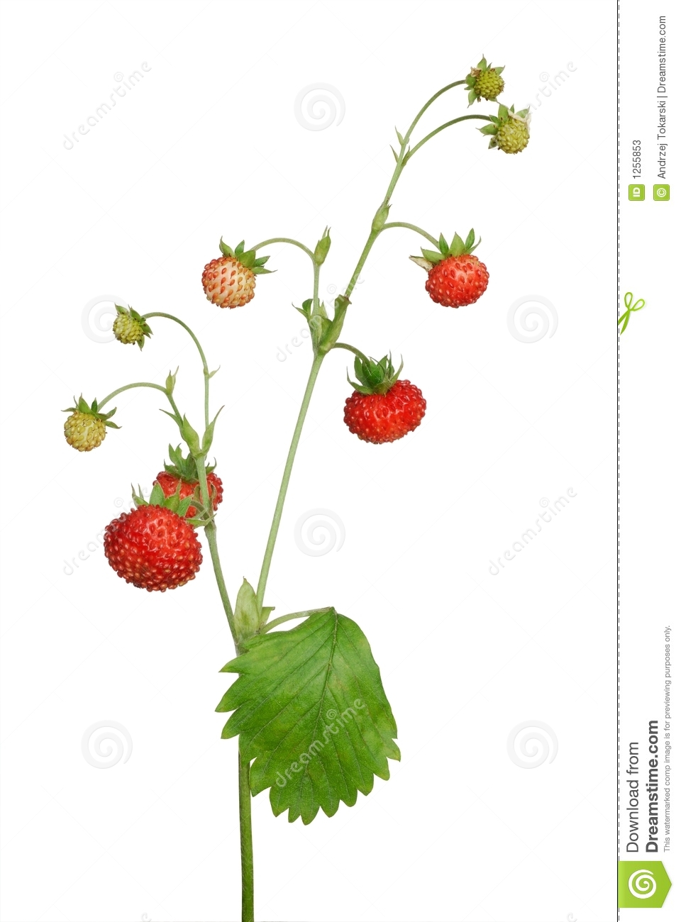 Wild Strawberry Stock Photos.