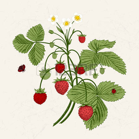 1,347 Wild Strawberries Stock Illustrations, Cliparts And Royalty.