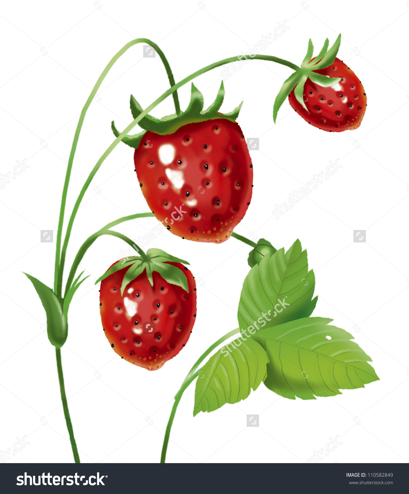 Strawberry Bush Ripe Wild Strawberry Green Stock Illustration.