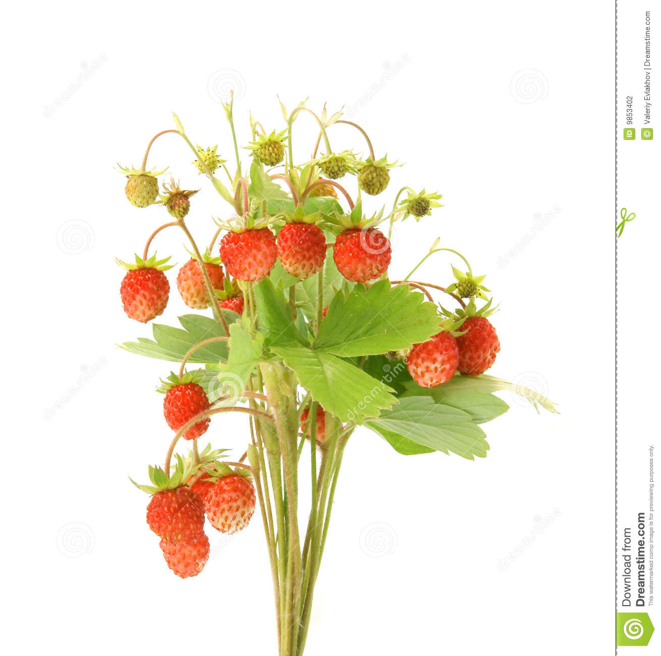 Wild Strawberry Plant Stock Photo.