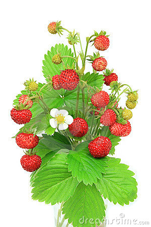 Wild Strawberry Plant Stock Photos, Images, & Pictures.