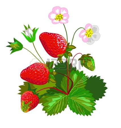 1,267 Wild Strawberry Stock Illustrations, Cliparts And Royalty.
