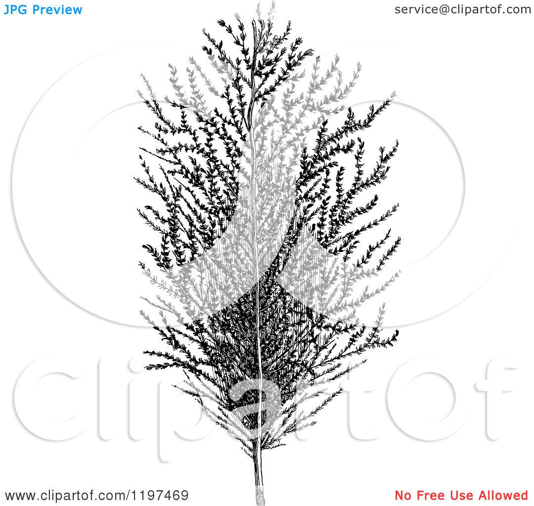 Clipart of a Vintage Black and White Sugar Cane Plant.