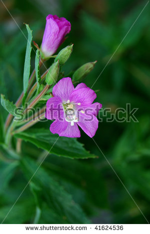 Epilobium Hirsutum Stock Photos, Royalty.