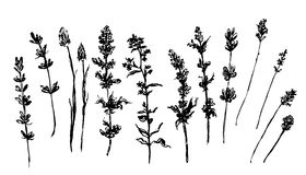 Forest Fruits Wild Thyme Stock Illustrations.