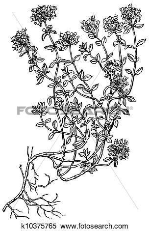 Clipart of Plant Breckland Thyme (Wild Thyme) k10375765.