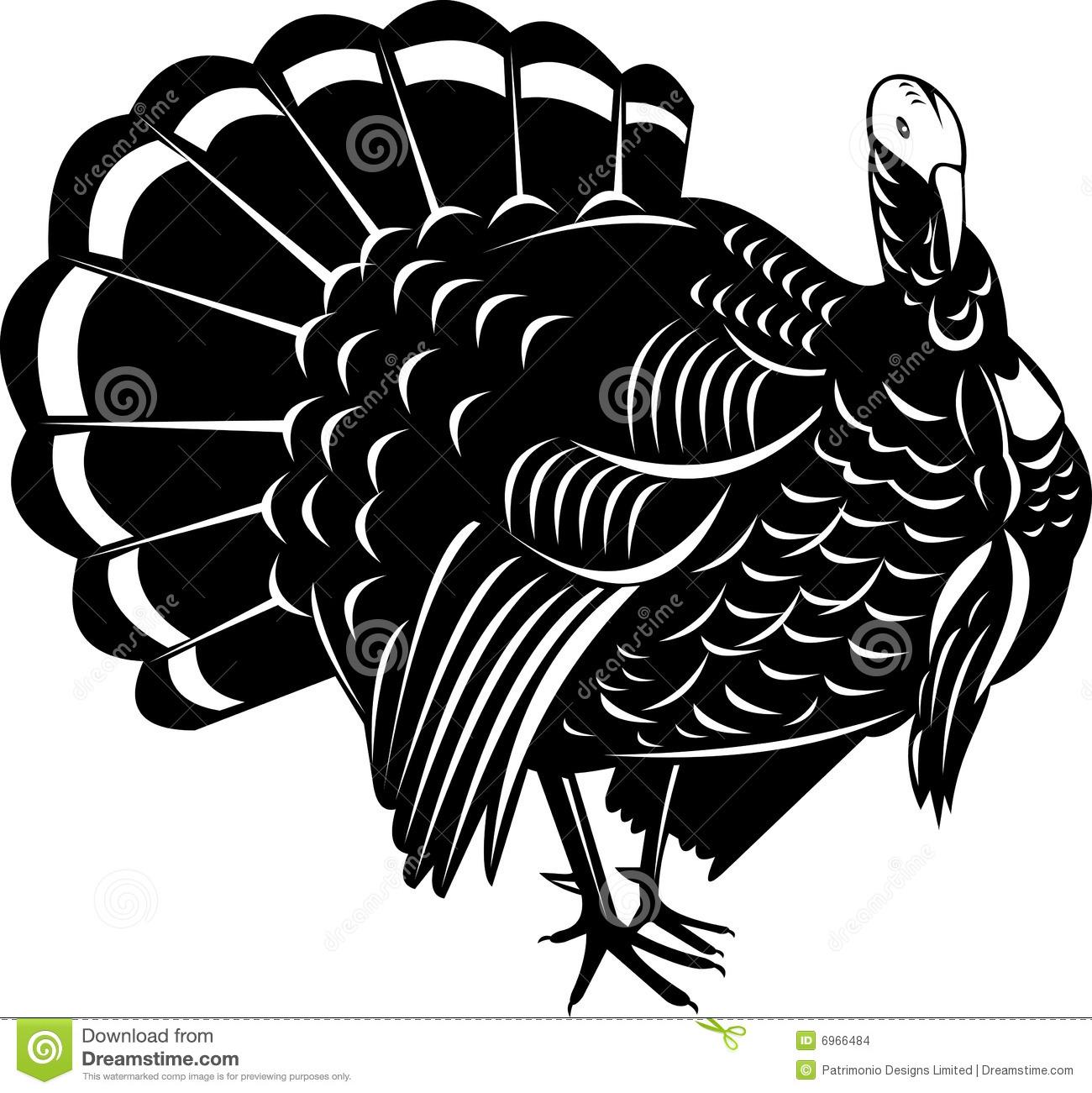 Wild Turkey Stock Images.