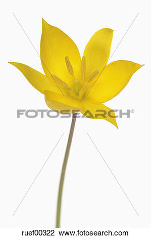 Stock Photo of Wild Tulip (Tulipa sylvestris), close.