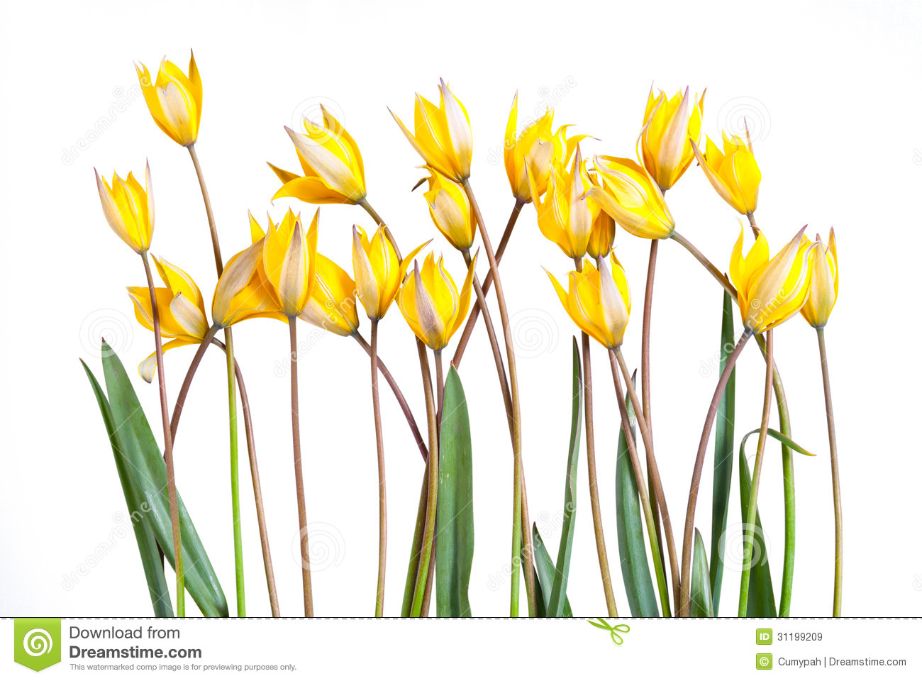 Wild Yellow Tulip Flower Royalty Free Stock Images.