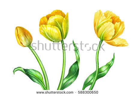 Watercolor Tulip Stock Photos, Royalty.