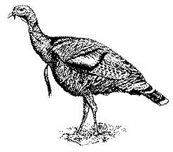 Wild Turkey Clipart Black And White.