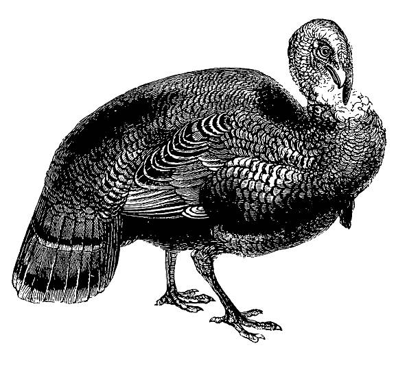 Wild Turkey Clipart Free.
