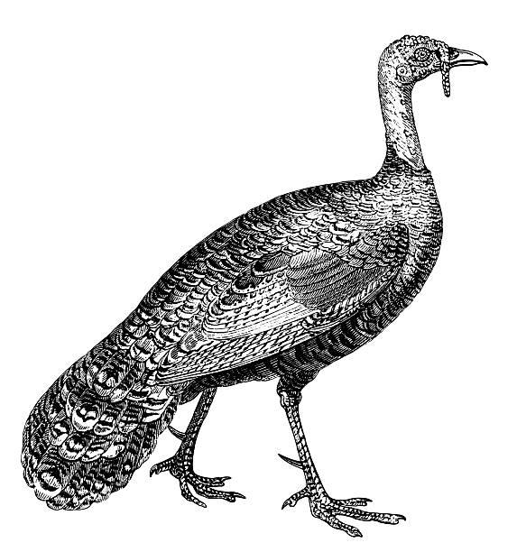 wild turkey images clip art 10 free Cliparts | Download ... (583 x 612 Pixel)