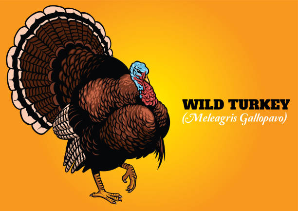 Best Wild Turkey Illustrations, Royalty.