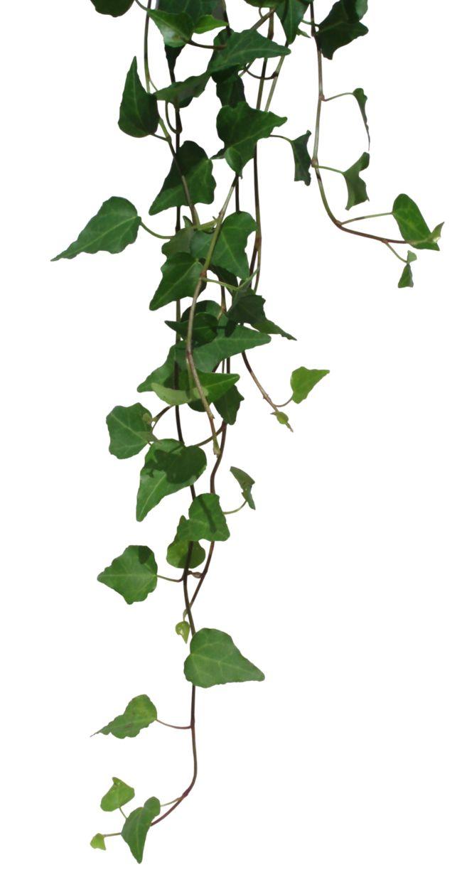 Wild Ivy Clip Art.