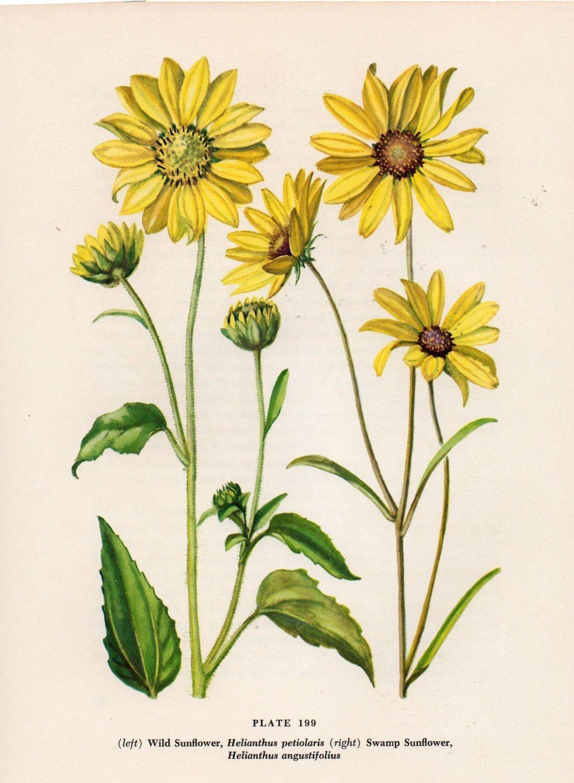 coneflower botanical.