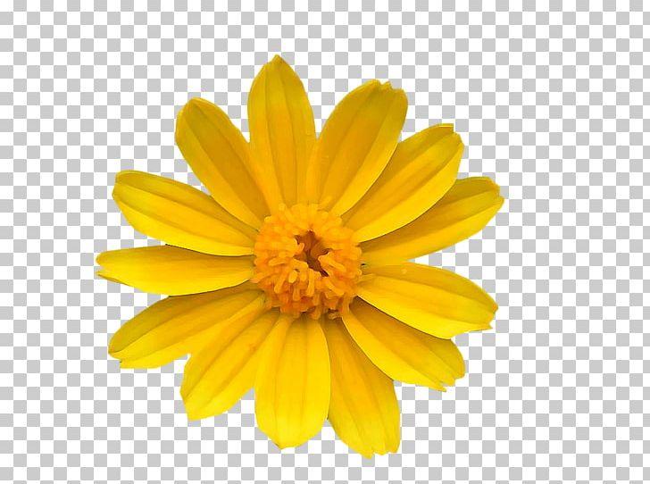 Chrysanthemum Yellow Common Daisy Flower Transvaal Daisy PNG.