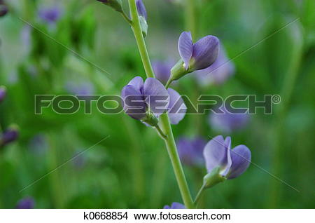 Stock Photo of Wild blue indigo k0668854.
