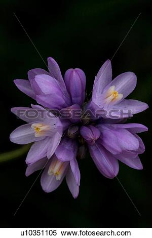 Stock Image of Closeup of purple wild Blue Dick flower, Catalina.