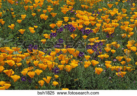 Stock Image of California Poppies (Eschscholtzia californica) and.