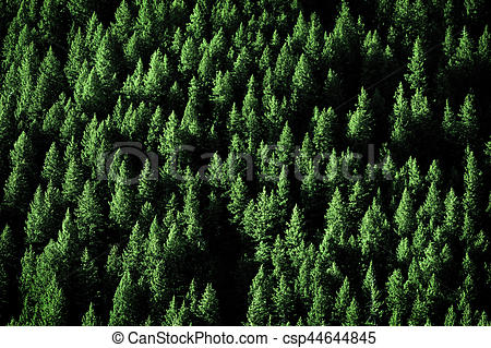 Pine Trees in Forest Wilderness for Conservation.