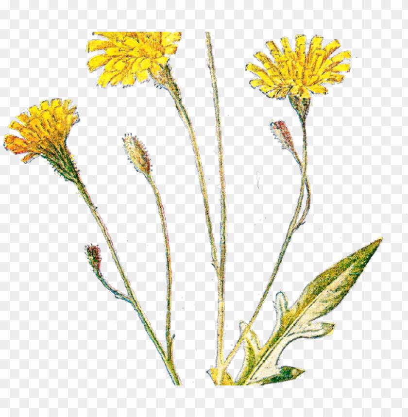 wildflower clipart antique.