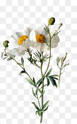 Download Free png White Wildflower Png, Vector, PSD, and.